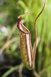 Roter Nepenthes Stockbilder