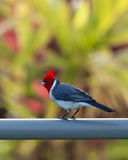 Roter Kardinal mit Haube auf Zaun in Kauai lizenzfreie stockfotos