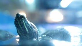 Roter ohriger Schieberschildkrötenkopf stock video footage
