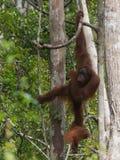 Roter Orang-Utan, der von einem Baum mit den starken Händen hängt Lizenzfreie Stockfotografie
