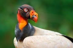 Roter orange Porträtkondor Königsgeier, Sarcoramphus-Papa, großer Vogel fand in zentralem und in Südamerika Fliegenvogel, Wald he stockbild