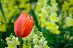 Roter orange Tulpengelb-Löwenmaulhintergrund Stockfotografie