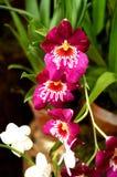 Roter Orchideenschmetterling mögen Stockfoto