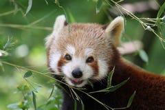 Roter Panda Stockfoto