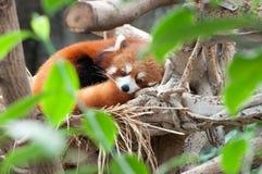 Roter Panda Lizenzfreies Stockfoto