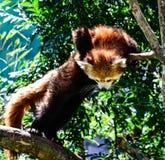 Roter Panda lizenzfreie stockfotos