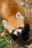 Roter Panda Lizenzfreie Stockbilder
