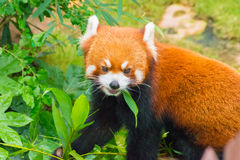 Roter Panda Stockfotos