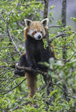 Roter Panda lizenzfreies stockbild