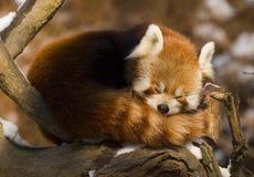 Roter Panda (Ailurus fulgens) Lizenzfreies Stockbild