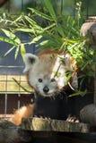 Roter Panda - Ailurus fulgens Stockbild