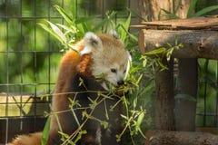 Roter Panda - Ailurus fulgens Stockfoto