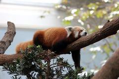 Roter Panda auf Baum Lizenzfreies Stockfoto