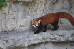 Roter Panda, der auf ein Felsenregal geht Stockbild