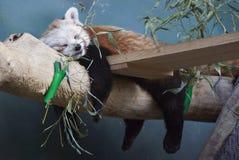 Roter Panda, der auf einem Baumstamm in Moskau-Zoo schläft Stockfotografie