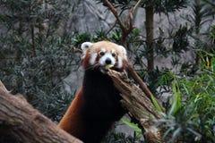 Roter Panda, der eine Scheibe des Apfels isst Lizenzfreie Stockbilder
