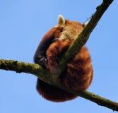 Roter Panda, der in einem Baum auf einer Niederlassung schläft Lizenzfreie Stockfotografie