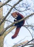 Roter Panda, der einen Apfel isst stockbild