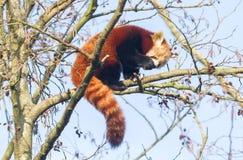 Roter Panda, der einen Apfel isst stockbilder