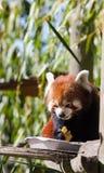 Roter Panda, der friuits isst Stockfoto