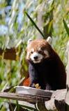 Roter Panda, der friuits isst Stockbilder
