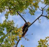 Roter Panda, der herauf einen Baum sich entspannt Stockfotos