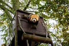 Roter Panda, der von seinem Haus auftaucht Lizenzfreie Stockfotografie