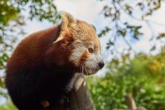 Roter Panda, ein firefox, schaut heraus rechts Stockbild