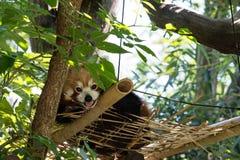 Roter Panda in einem Baum Stockfoto