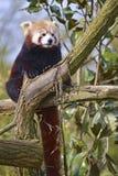 Roter Panda gehockt im Baum lizenzfreie stockfotos