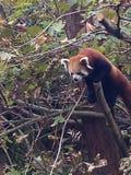 Roter Panda herauf einen Baum Lizenzfreie Stockfotografie