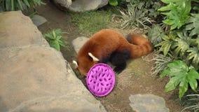 Roter Panda isst Nahrung von der Schüssel stock footage