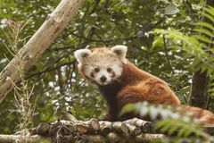 Roter Panda, Lesser Panda, auch bekanntes Catbear Ailurus fulgens stockfotografie