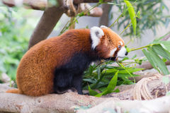 Roter Panda oder Lesser Panda, Firefox, das auf Niederlassung sitzt Stockbild
