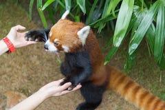 Roter Panda oder Lesser Panda, Firefox, das auf Niederlassung sitzt Lizenzfreies Stockbild