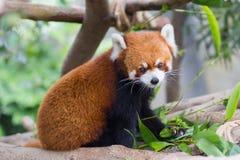 Roter Panda oder Lesser Panda, Firefox, das auf Niederlassung sitzt stockfoto