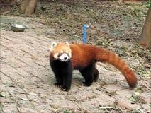 Roter Panda oder wenig Panda- oder Roterbärkatzen- oder Roterkatzebär stock video footage