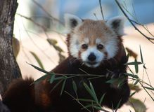 Roter Panda am Oklahoma- Cityzoo lizenzfreies stockbild