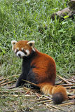 Roter Panda in Sichuan, China stockbild