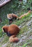 Roter Panda am Zoo in Chengdu, China Stockfoto