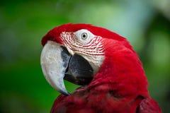 Roter Papagei stockbilder