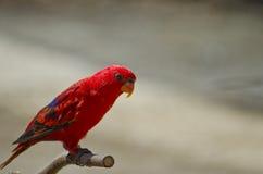 Roter Papagei lizenzfreie stockfotografie