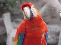 Roter Papagei Stockfotografie