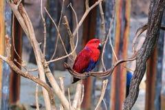 Roter Papagei Lizenzfreies Stockbild