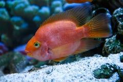 Roter Papagei der Aquariumfische in einem Profil Lizenzfreie Stockbilder