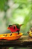 Roter Papagei, der tropische Frucht isst Lizenzfreies Stockfoto