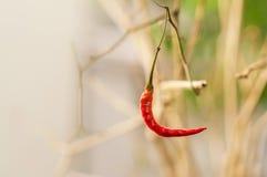 Roter Paprika auf einem Baum mit helle Farbnaturhintergrund Lizenzfreies Stockbild