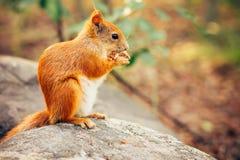Roter Pelz des Eichhörnchens mit Nüssen lizenzfreie stockfotos