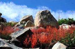 Roter Penstemon und Felsen Stockfoto