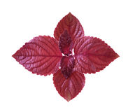 Roter Perilla stockfotografie